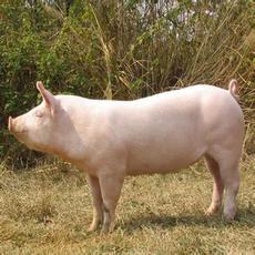 绿色无污染一元猪