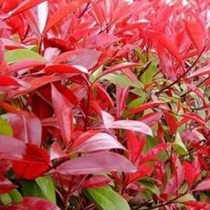 红叶石楠501