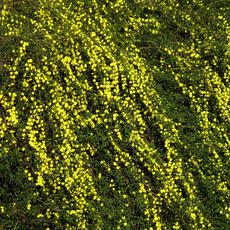 鄢陵永博花卉苗圃大量供应3分支以上的迎春花 基地自产自销  价格优惠 质量保证