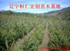 供应云杉树、云杉基地、云杉小苗、辽宁云杉、云杉价格