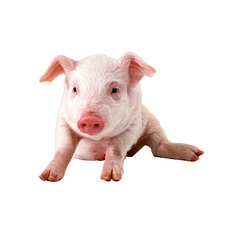 供应  厂家直销  猪