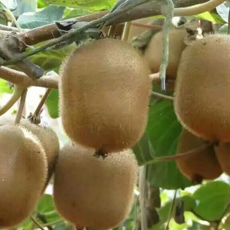 农思稷甜亚特绿心猕猴桃新鲜奇异果5斤装  果实肉肥汁多 清香鲜美 甜酸宜人