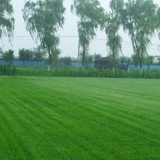 供应草坪天堂马尼拉草坪百慕大草坪