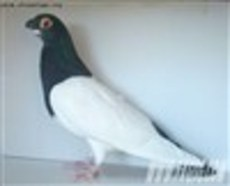 两头乌鸽子  出售两头乌种鸽