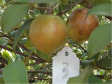 基地自产优质品种油茶树苗   长林3#