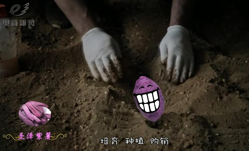 【网库微视】圣泽紫薯