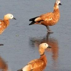 出售针尾鸭   珍稀游禽观赏鸭