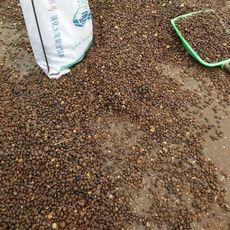 厂家供应批发野生山茶籽 优质山茶油籽 出油率高茶籽 含油量30%