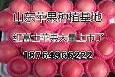 山东红富士苹果价格 水晶富士苹果批发价格
