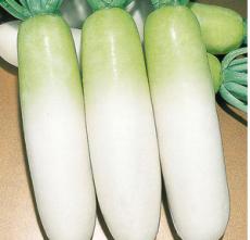 厂家长期供应优质新鲜白萝卜 无公害白萝卜 长期大量供应白萝卜