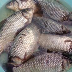 巢湖市中河生态养殖鲫鱼(价格面议)