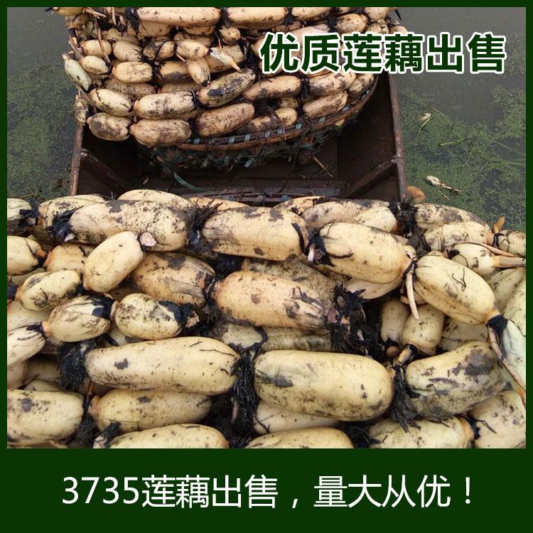 洪湖3735莲藕 15~20cm 5-7cm批发 质量保证