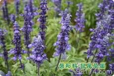 保定优质蓝花鼠尾草常年供应价格