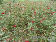 花灌木月季藤本植物月季蔷薇等月季价格月季种植基地