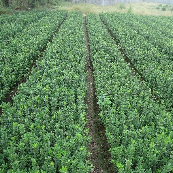 大叶黄杨 马路绿化灌丛 四季常青绿篱绿化
