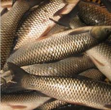 原生态无污染食用淡水鱼 天然养殖鲜美肉嫩草鱼 安全食用鱼批发
