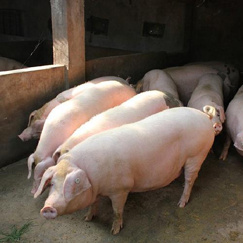 优质三元生猪