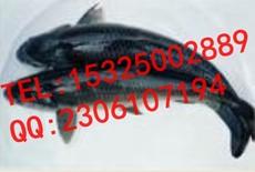 水产饲料中添加诱食促生长剂CC-DMPT02的可行性