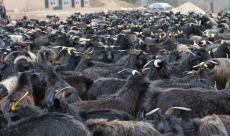 陕西甘泉 正宗黑山羊 五丰特产 无污染 纯天然有机食品 无膻味  礼盒装