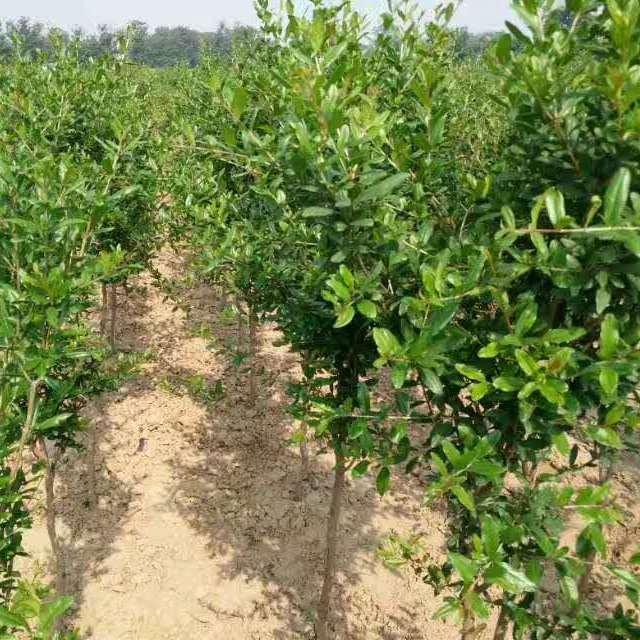 万千榴业 正宗河阴软籽石榴树苗 一年苗 60公分高 成活率高