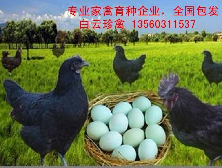 绿壳乌鸡苗养殖技术,绿壳乌鸡苗批发商现场培训