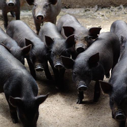 黑猪仔肉猪大量供应