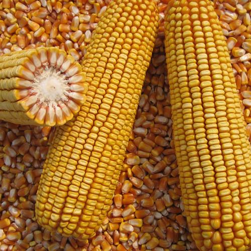 高产红轴玉米品种德利农10号