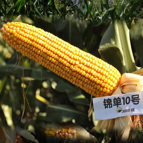 高产白轴玉米品种鑫丰6号