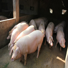 生猪养殖 批发销售