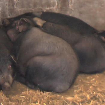 供应 农家放养散养 瑶胞黑猪肉