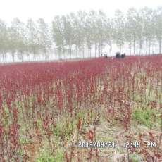保定丛生紫叶矮樱苗木种植技术