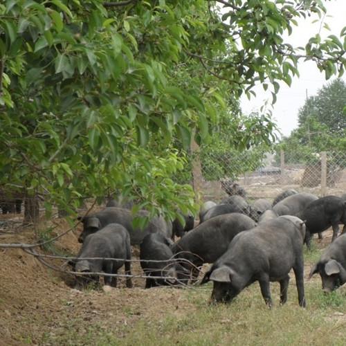供应 正宗沂蒙山黑猪肉 散养农家土猪肉