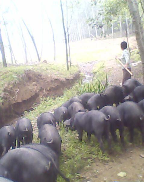"""叶一刀""""和黑猪的缘分"""