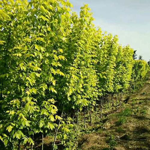 亚祥苗木基地直销1-10CM金叶复叶槭 优质货源 规格齐全
