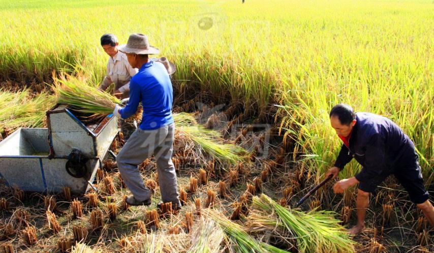 稻谷托市价格微调 政策仍起支撑作用