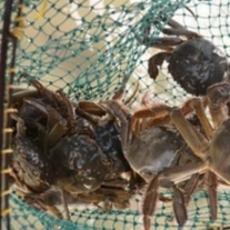 巢湖原生态野生螃蟹 鲜活水产品 味美鲜香