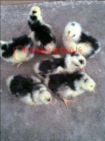 广东贵妃鸡种苗,广州贵妃鸡种苗