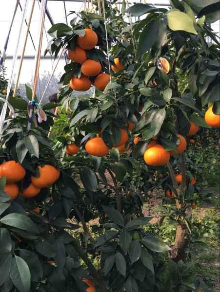 兴乐甘平柑橘
