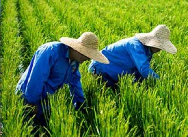 黑龙江绿色大米|绿色大米供应商