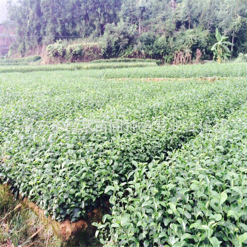 昌禾苗圃茶苗良种批发 优质台茶12茶苗 茶种直销