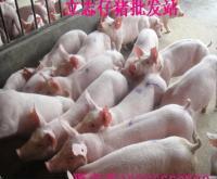 山东供应三元仔猪 长白仔猪优质仔猪