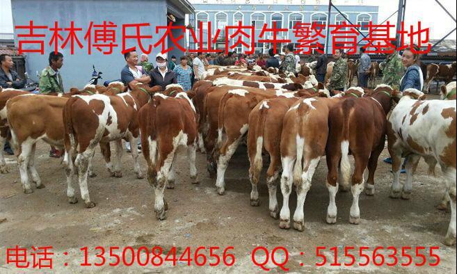优质西门塔尔肉牛牛犊价格走势