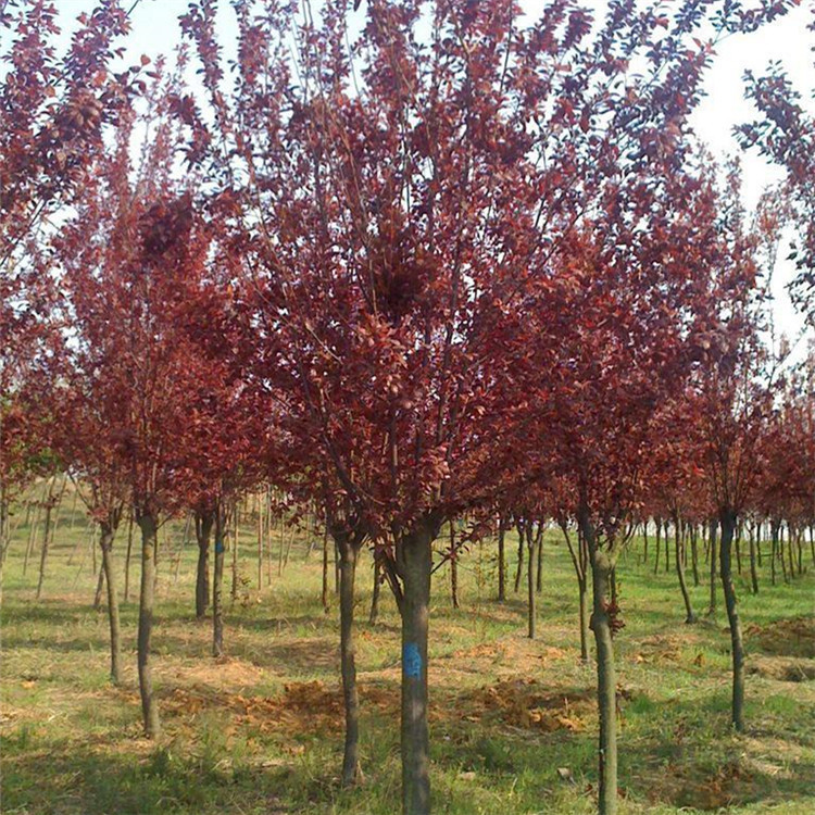 低价出售 紫叶李小苗 嫁接红叶李树苗 便宜的绿化工程图片