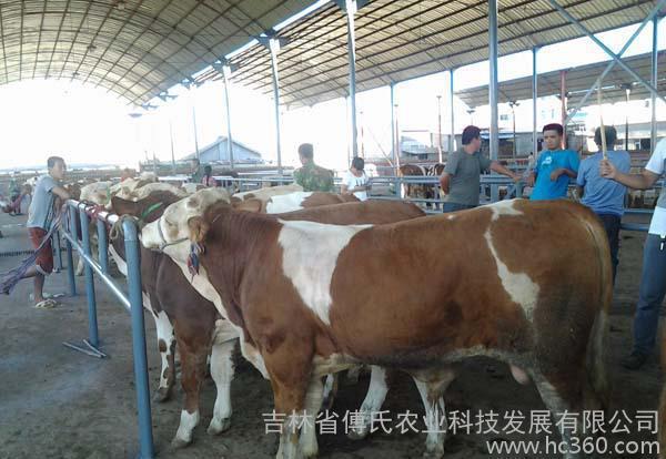 肉牛犊架子牛1