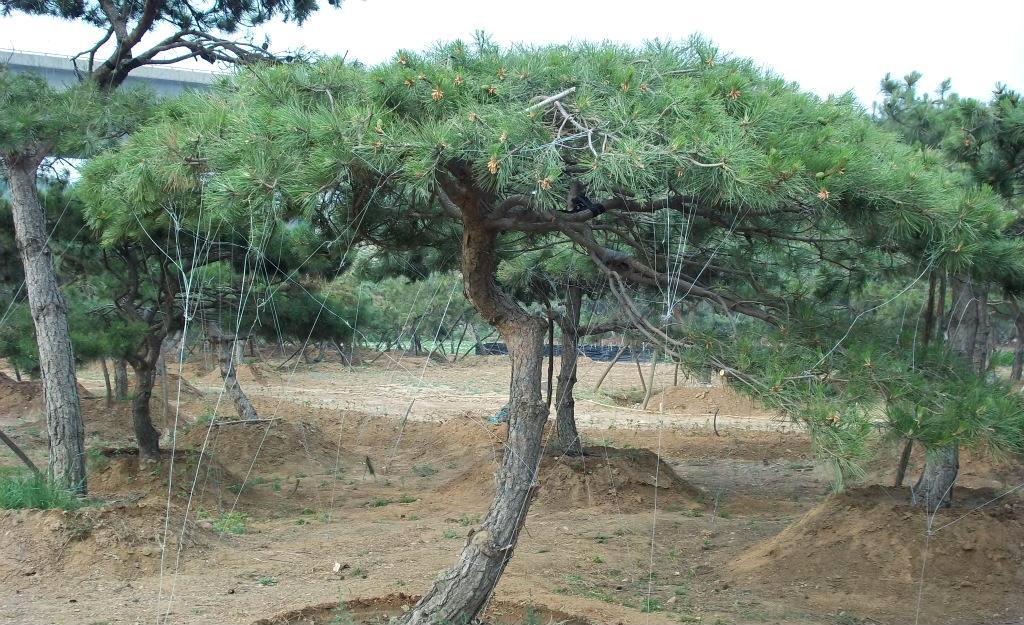 泰山松.造型油松.赤松.黑松.盘景.柿子树.大树古树.绿化.