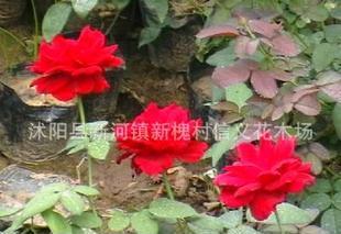 大量批发月季苗 蔷薇 藤本月季 切花月季等芳香花卉