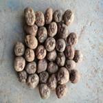 四川成都泸州魔芋种子厂家联系热线
