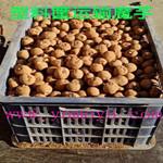 贵州贵阳遵义六盘水魔芋种子供应商