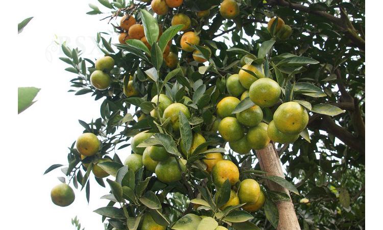三苏果园现摘早熟青皮蜜橘无籽桔甜桔沙糖桔新