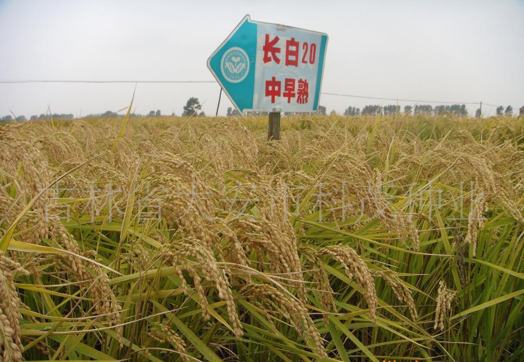 水稻良种长白20